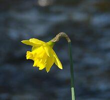 Daffodil on river bank by malandsheila