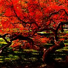 """Red Dragon"": Japanese Maple, Newton, Massachusetts by Richard VanWart"