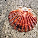 Scallop Shell by Susie Peek