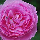 Rosa 'Louise Odier' by Julie Sherlock