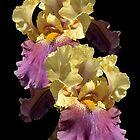 Iris by Steven  Agius