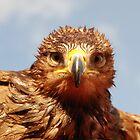 Tawny Eagle by woolcos