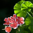 Geranium by David Lade