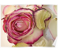 White Pink rose with petals 3 Poster