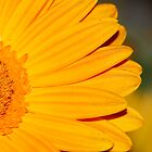 Closeup Sunflower by John Kroetch