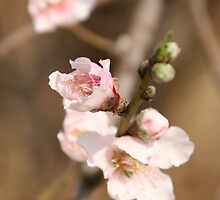 spring blossoms 2 by armanda