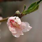 spring blossoms 4 by armanda
