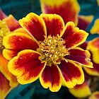 Red and Yellow Marigold by Kenneth Keifer