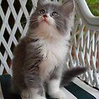 Precious Kitten by Amy Boddie