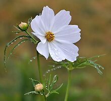 Much Needed Rain For Cosmos Flower by lynn carter