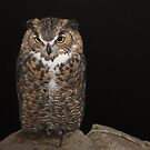 Night Owl  by CarolM