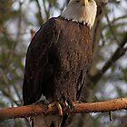 Bald Eagle by IanPharesPhoto
