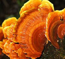 Orange Bracket Fungi by Marilyn Harris