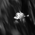 dear iris_bw by K Y R S T I E  kyle Photography