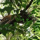 Jaguar by Braedene