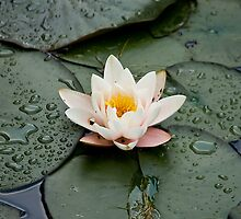 Water-lily by Rutger Blom