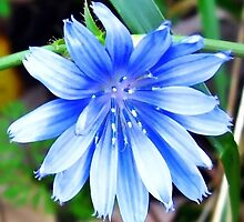 Baby Blue Chicory by Tracy DeVore