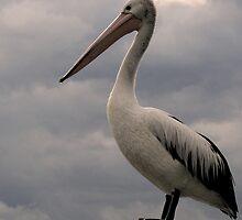 Proud Pelican by Nick Ryan