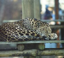 Sleeping Leopard by Richard Durrant