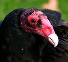 Turkey Vulture by IanPharesPhoto