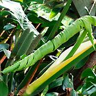 Monstera Deliciosa - new leaf unfolding by Bev Pascoe