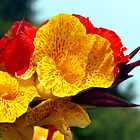 Colourful Canna Lily by Bev Pascoe