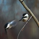 "An ""electric"" chickadee escape by Normcar"