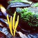 Clavaria amoena by David Lade