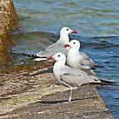 Audouins Gull by Robert Abraham