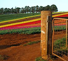 'Tulips Through Gate' by Gavin J Hawley