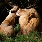 Kissy Lions by IanPharesPhoto