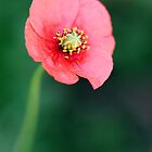 Wild Red Poppy - Close Up by Melissa Holland