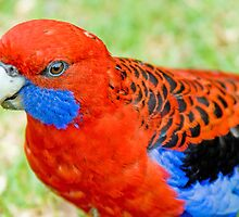 Crimson Rosella, Queensland, Australia by Adrian Paul