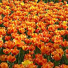 Tulip Field by Kuzeytac
