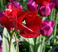 Red Tulip Tear Drops by Kuzeytac