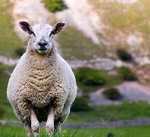 Sheep by Steven  Lee