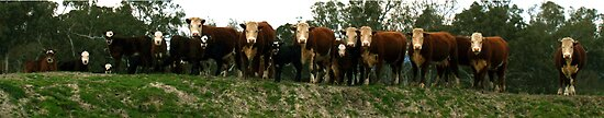 Cows On The Dam by stackerzling