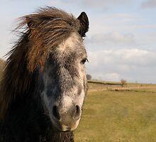 Shetland Pony by Steven  Lee