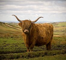 Highland Cow - The Peak District by Steven  Lee