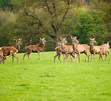 Chatsworth Deer by Steven  Lee