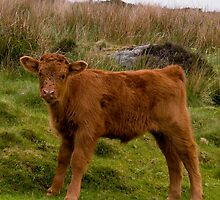 A Peak District Calf by Steven  Lee