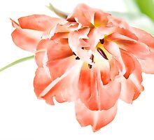 Water Colour Tulip by Ann Garrett