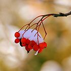 Berries with Snow by Robin Webster