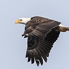 American Bald Eagle 2015-19 by Thomas Young