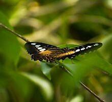 Parthenos Sylvia - The Clipper by RatManDude