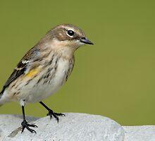 Warbler at the Birdbath by Bonnie T.  Barry