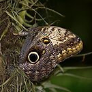 Caligo Artreus - Owl Butterfly by RatManDude