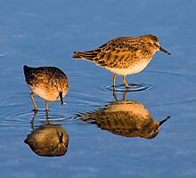 Least Sandpiper by Marvin Collins