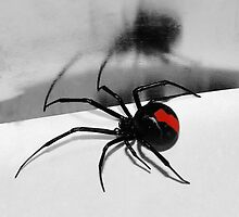 redback spider by IslandBreeze