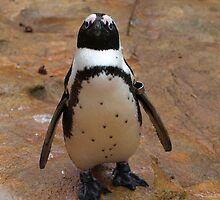 Baby Penguin by Franco De Luca Calce
